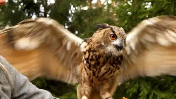 sova klapky křídly