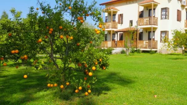 Zralé pomeranče na pobočkách