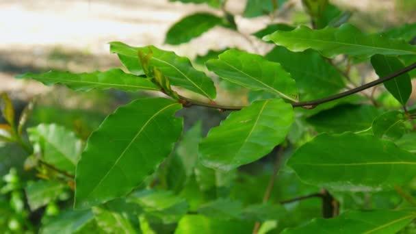 Green laurel leaves