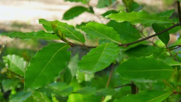 Green laurel leaves