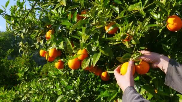 Gatherer picking orange