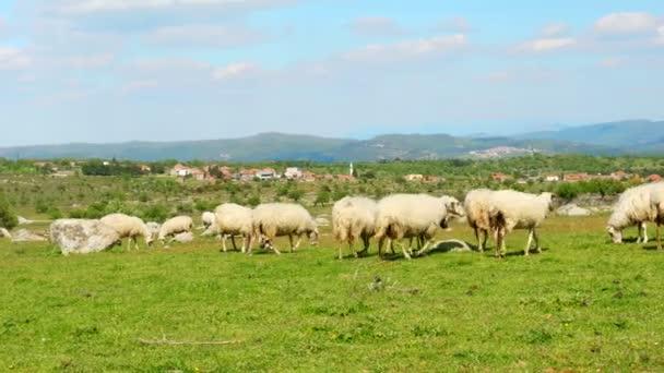 Schafe weiden auf grünem Gras