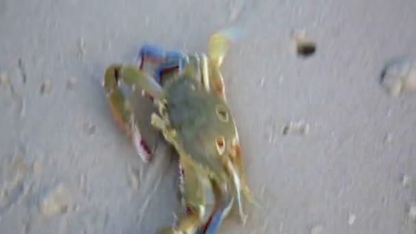 Blue crab at beach