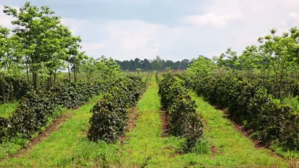 Industrial coffee tree plantation