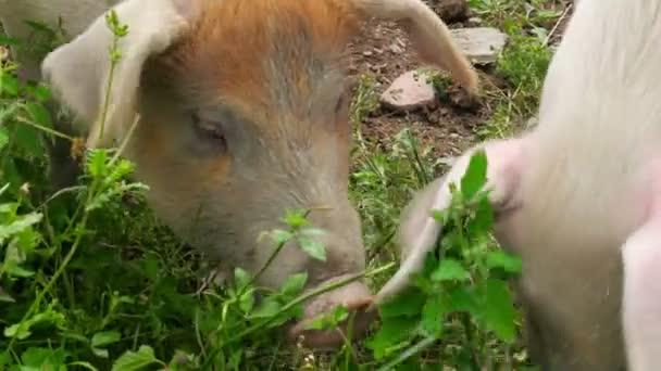 Schweine, die Beweidung Rasen