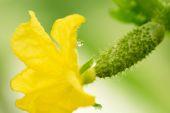 žlutý květ na vaječníku okurka