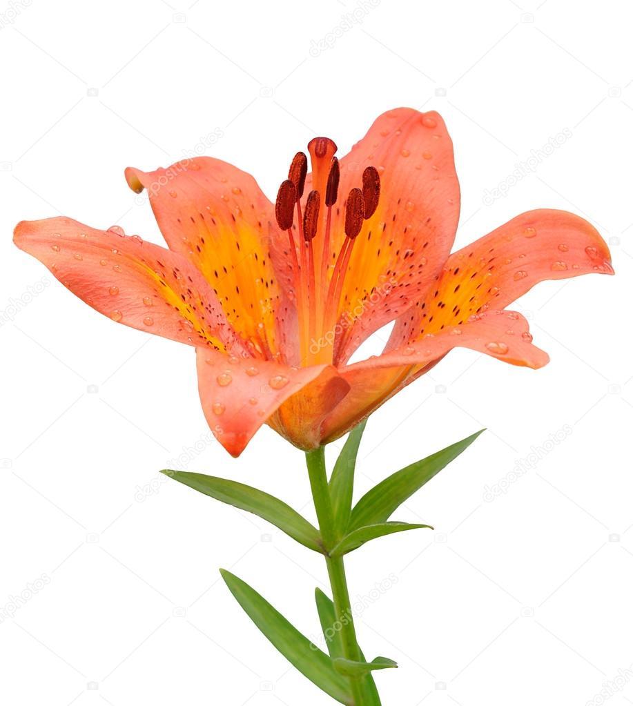 Fleur De Lys Orange Isole Sur Fond Blanc Photographie Syaber