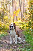 Beagle v lese