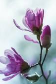 Fotografie Růžový kvetoucí magnólie