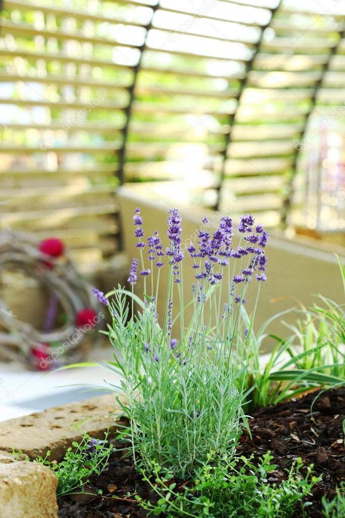Lavender in patio