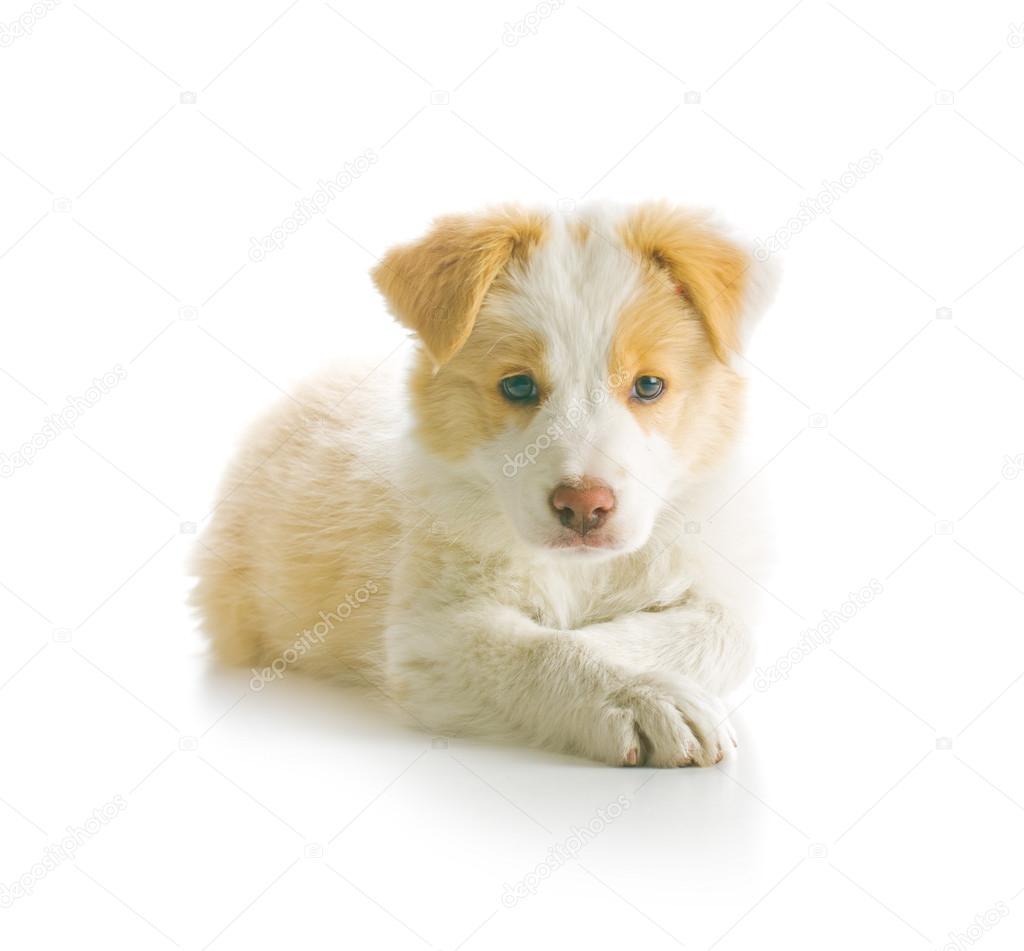 Border Collie Puppy Stock Photo C Jirkaejc 110725850