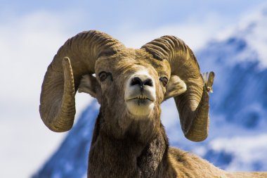 big wild  ram