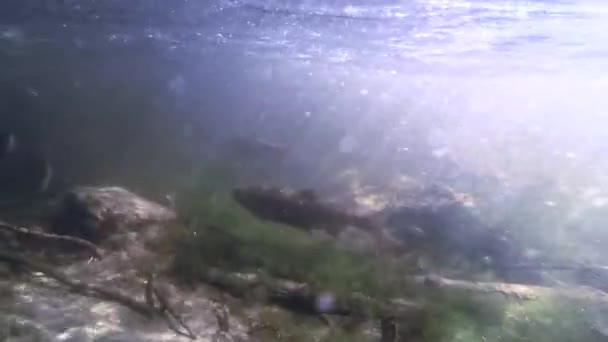 Közel a víz alatti kilátás a lazac és a sziklás fenék