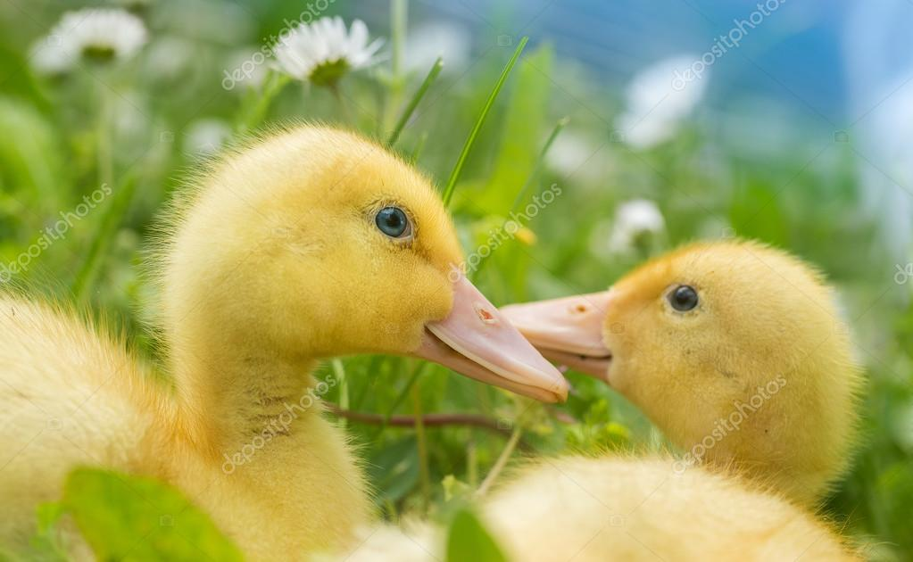 fluffy duckling on green background stock photo hofhauser 111351938