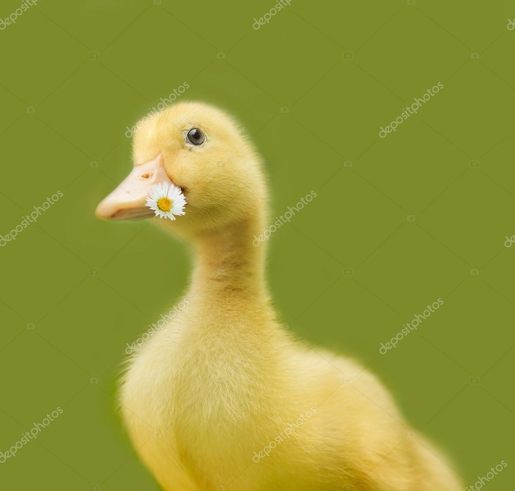 fluffy duckling on green background stock photo hofhauser 111351956