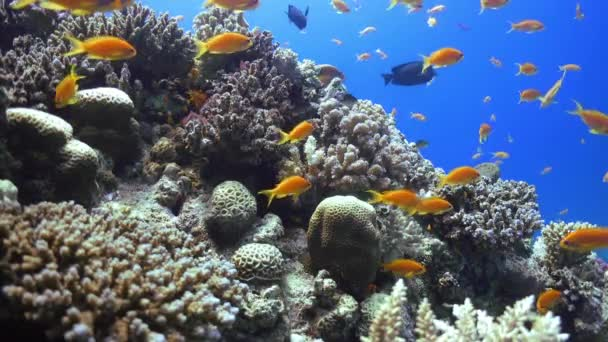 Tropické ryby na živé korálový útes