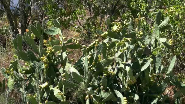 Opuntia Ficus - Indica