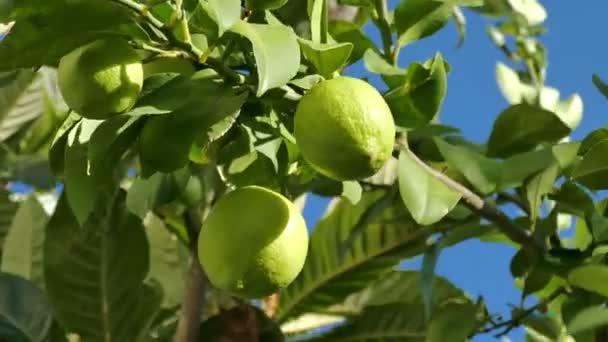 unreife grüne Zitronen