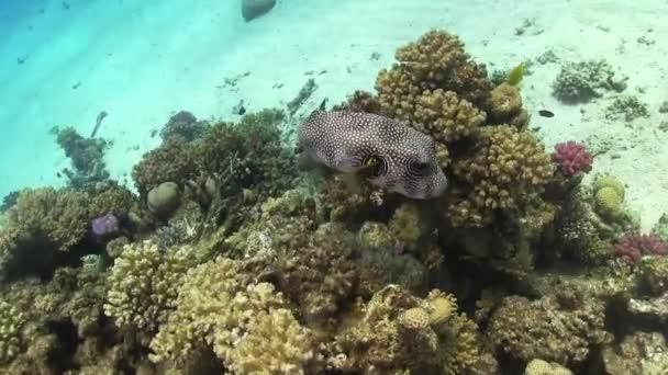 Starry Puffer na korálovém útesu
