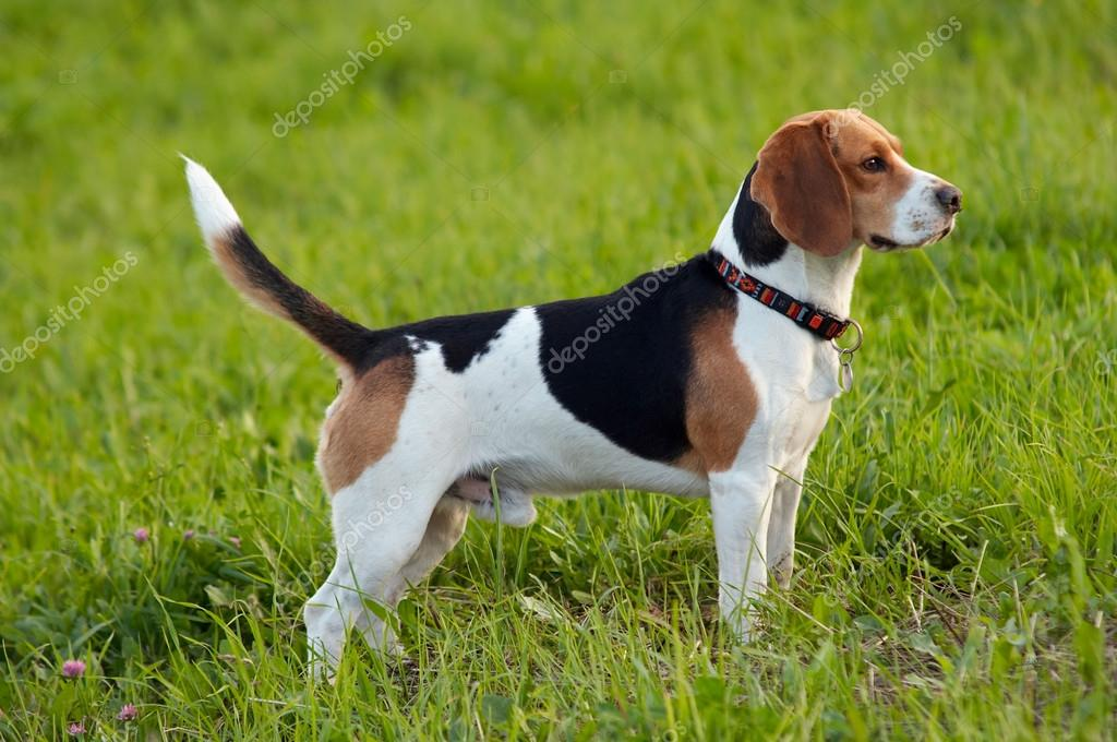 Beagle Appartamento