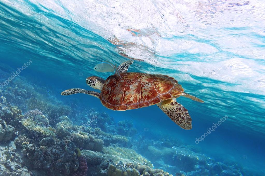 Green turtle swimming in Caribbean Sea