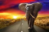 Chodící slon při západu slunce