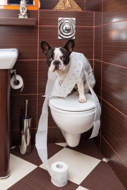French bulldog sitting on toilet