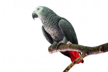 African grey parrot on the branch