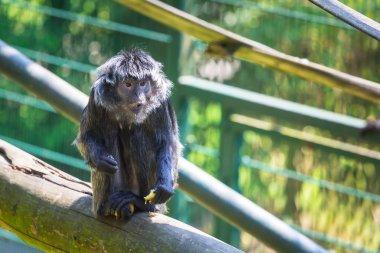 The Javan langur monkey