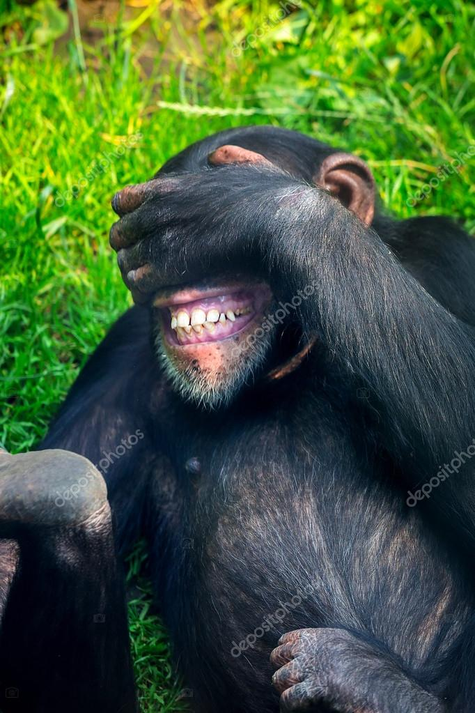 Chimpanzee in the zoo