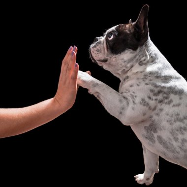 French bulldog giving high five