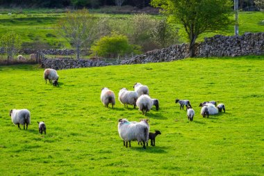 Sheep and rams in Ireland
