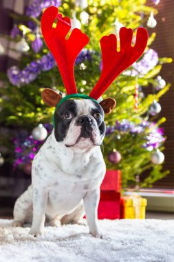 French bulldog with reindeer horns