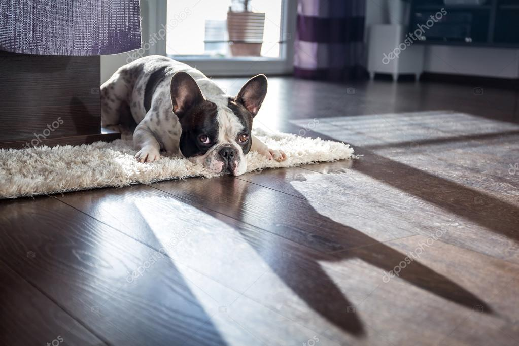French bulldog in sunny living room