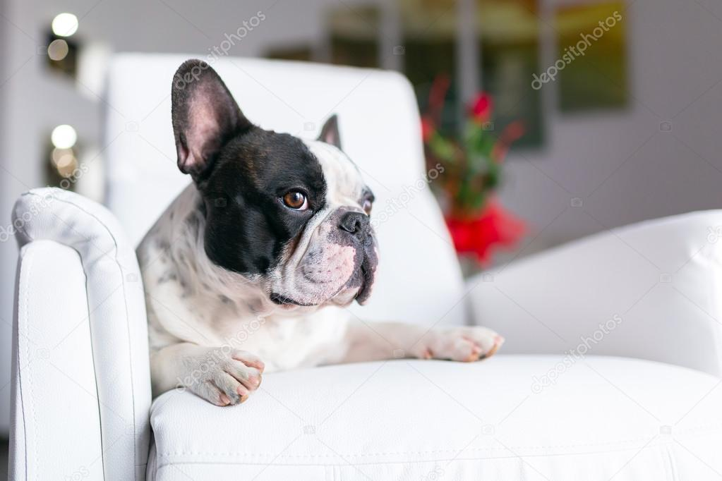 Dog lying down on the armchair