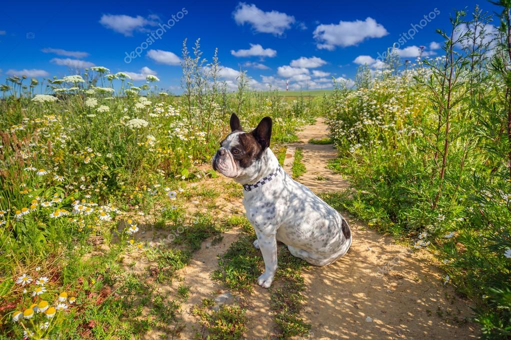 French bulldog on the walk