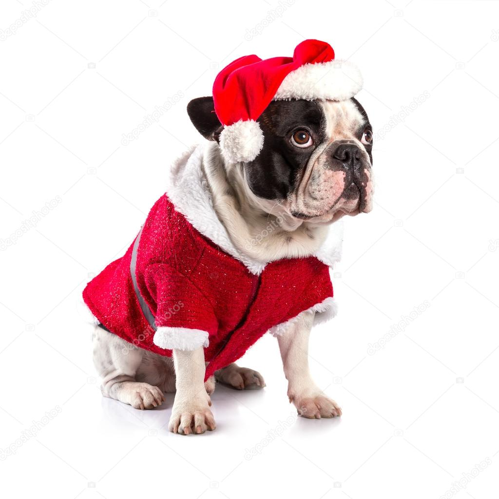 franz sische bulldogge in santa kost m f r weihnachten. Black Bedroom Furniture Sets. Home Design Ideas
