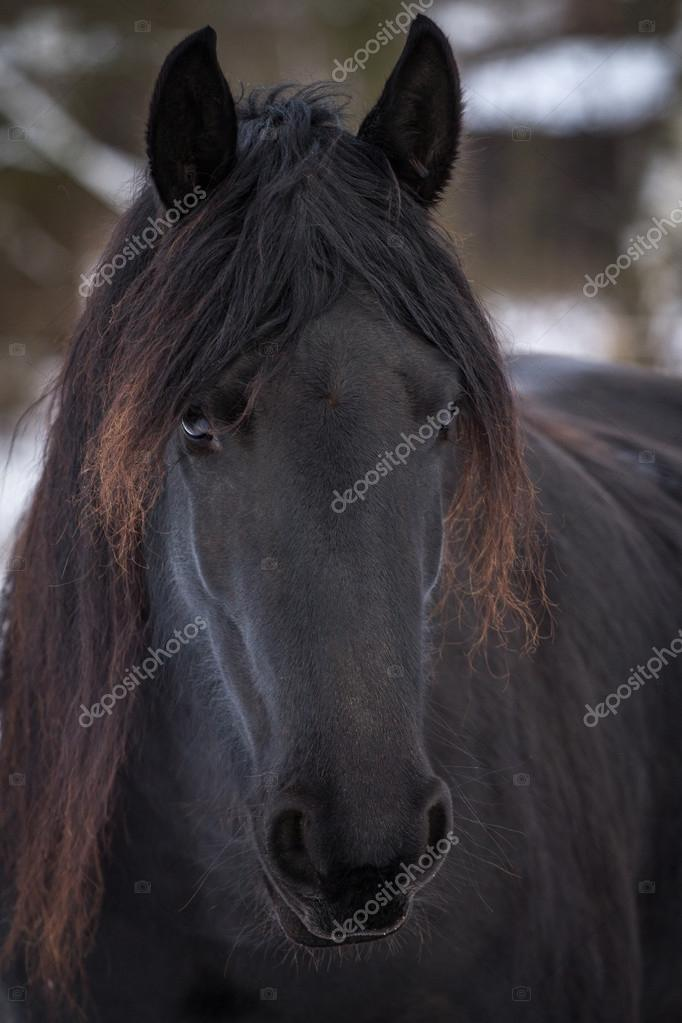 Portrait beauty friesian horse in winter
