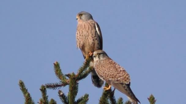 Gheppio, falco tinnunculus, atterrando sulla filiale di albero con ali diffusione e cielo blu sfondo