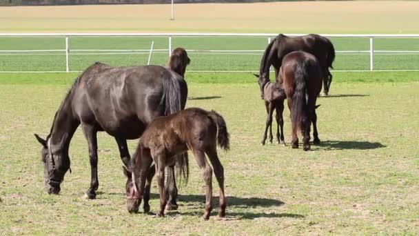 Stará plemena starokladrubského černý kůň klisna březí