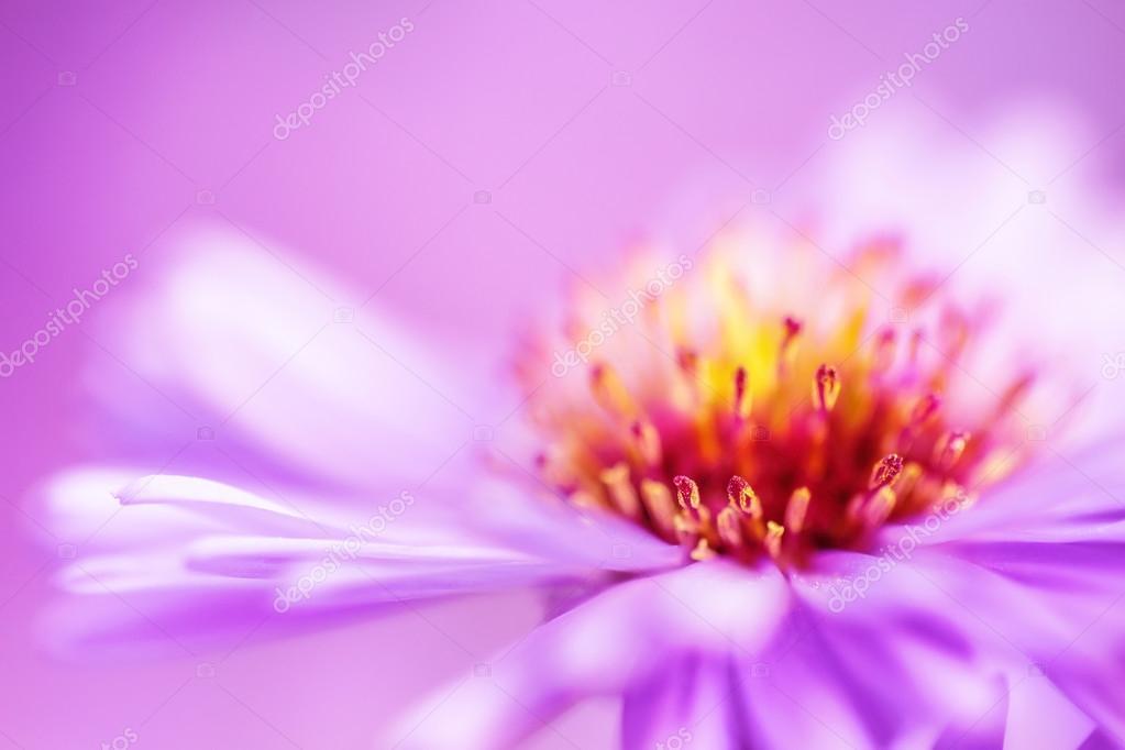 closeup violet aster flower background