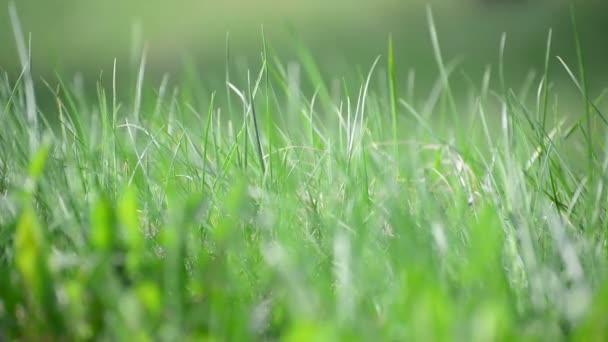 bright spring grass in  wind