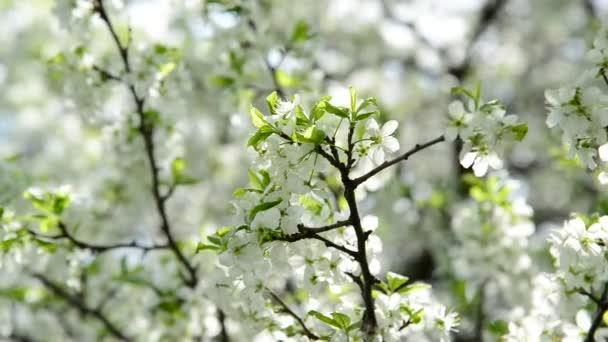 Větve jarní Třešňové květy
