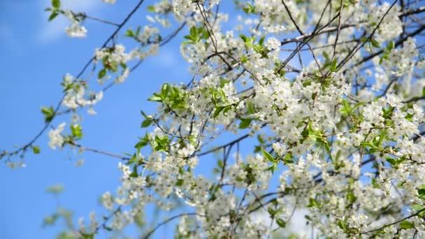 Az ágak a cseresznye virágok ellen az égen