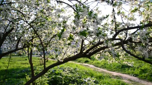 Kvetoucích slivoní v parku na jaro