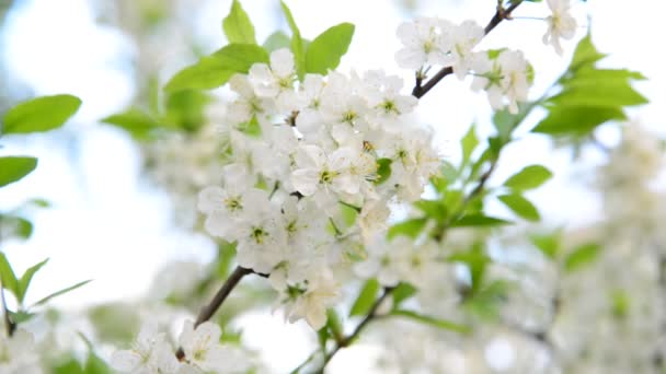 Nagy virágok a tavaszi szilvafa