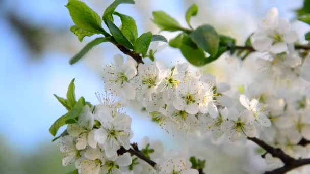 Velké květy na stromě švestky na jaře