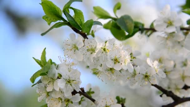 Large flowers on plum tree in spring