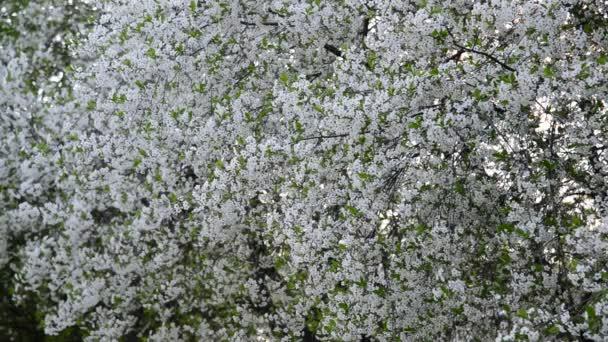 Bőven virágzó tavaszán Cseresznyéskert