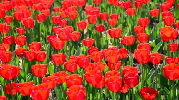 Mnoho odrůd červené tulipány na záhonu